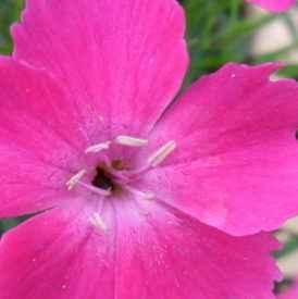 Fiori Kaori.Dianthus Kaori Apulia Plants