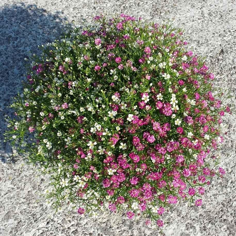 Gypsophila - Apulia Plants