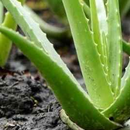 Aloe Vera pianta - Apulia Plants