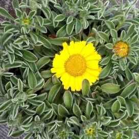 ASTERISCUS - apulia plants