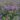 Cuphea – Apulia Plants