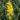 Cytisus Racemosus – Apulia Plants