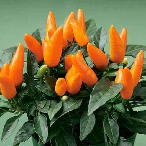 Capsicum - Apulia Plants
