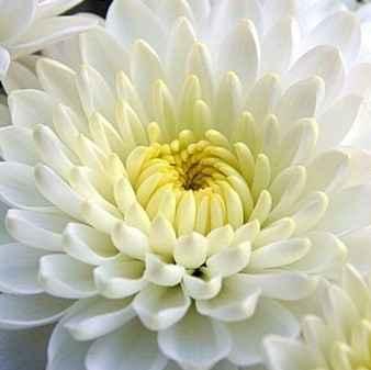 Chrysanthemum - Apulia Plants