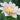 dahlia – apulia plants