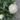 carnation – apulia plants