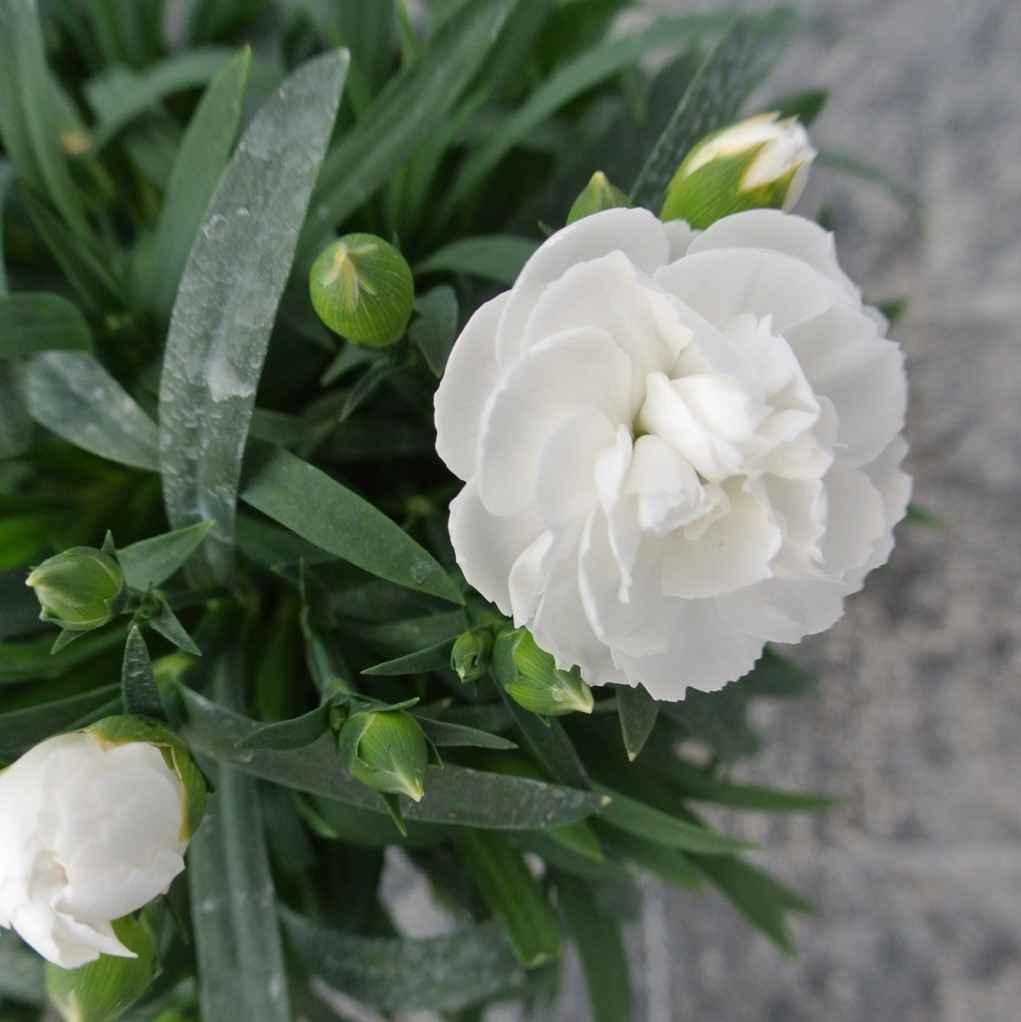 garofano - apulia plants