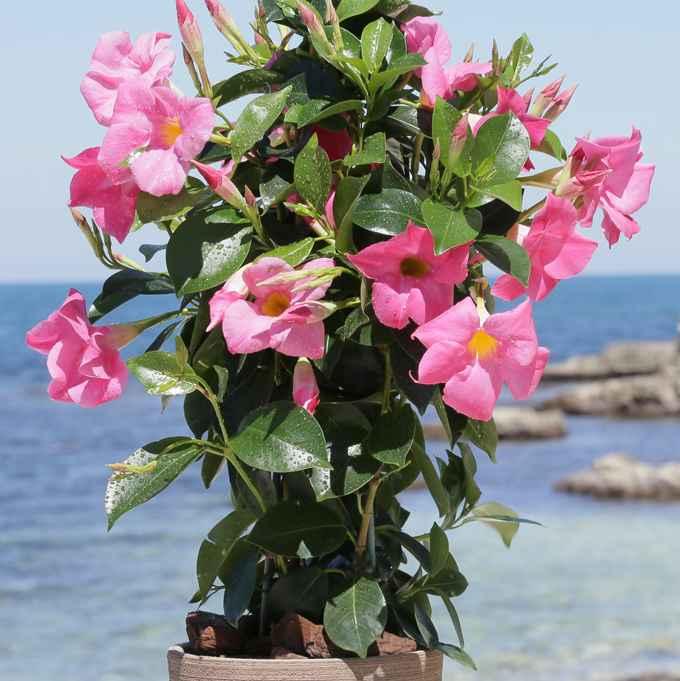 Dipladenia - apulia plants