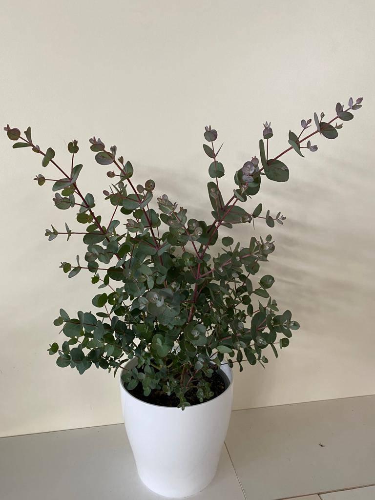 Barba Di Giove Sempreverde eucalyptus - apulia plants
