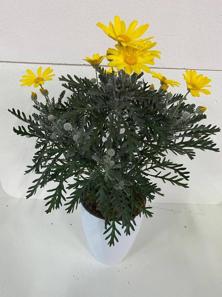 Barba Di Giove Sempreverde drosanthemum (barba di giove) - apulia plants