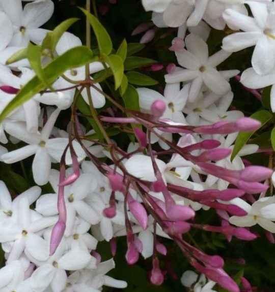 Jasmine - apulia plants