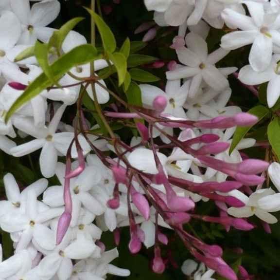 Gelsomino - apulia plants