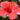 HIBISCUS – apulia plants