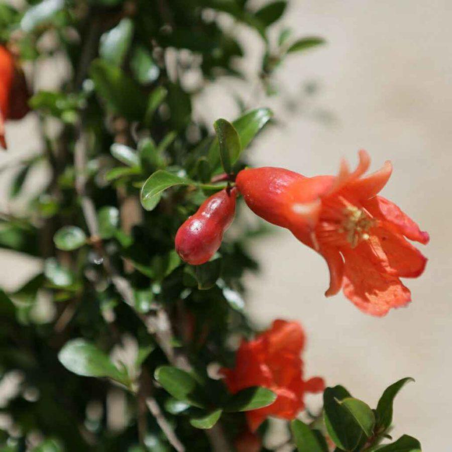 Punica Granatum - Apulia Plants