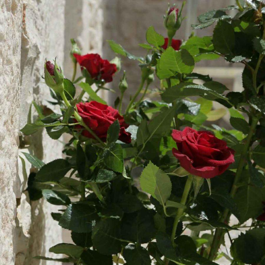 Rose - Apulia Plants