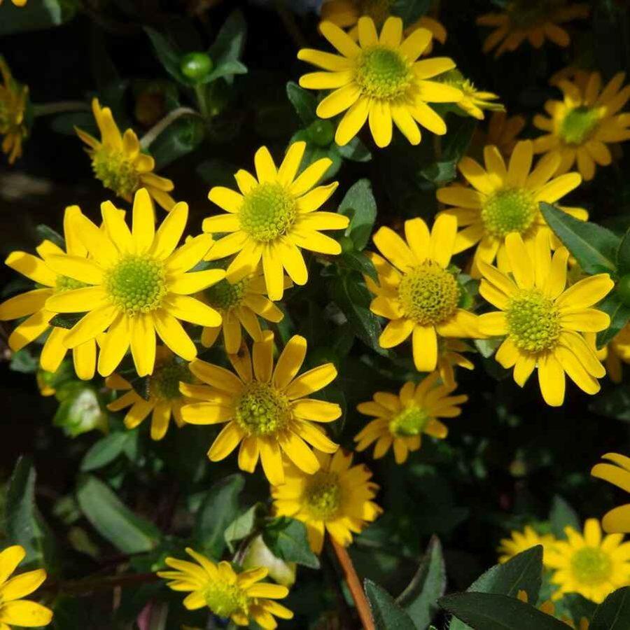 Sanvitalia - Apulia Plants