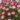 Saxifraga – Apulia Plants