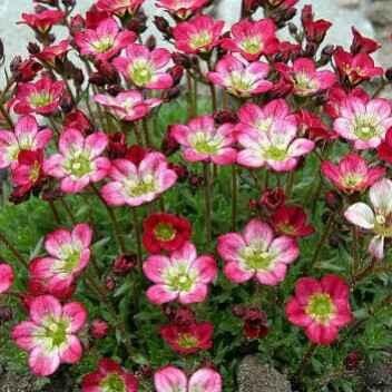Saxifraga - Apulia Plants