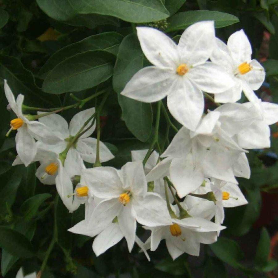 Solanum Jasminoides - Apulia Plants