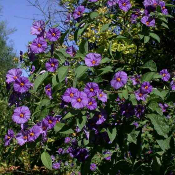 Solanum Rantonetti - Apulia Plants