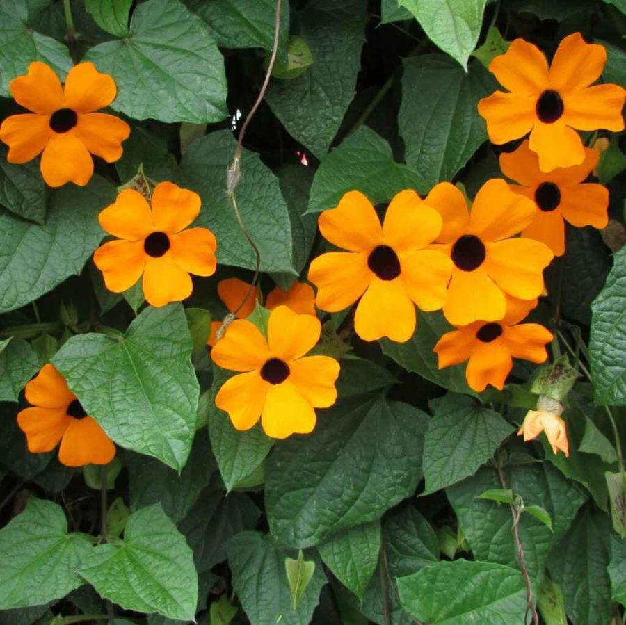 Thunbergia - Apulia Plants