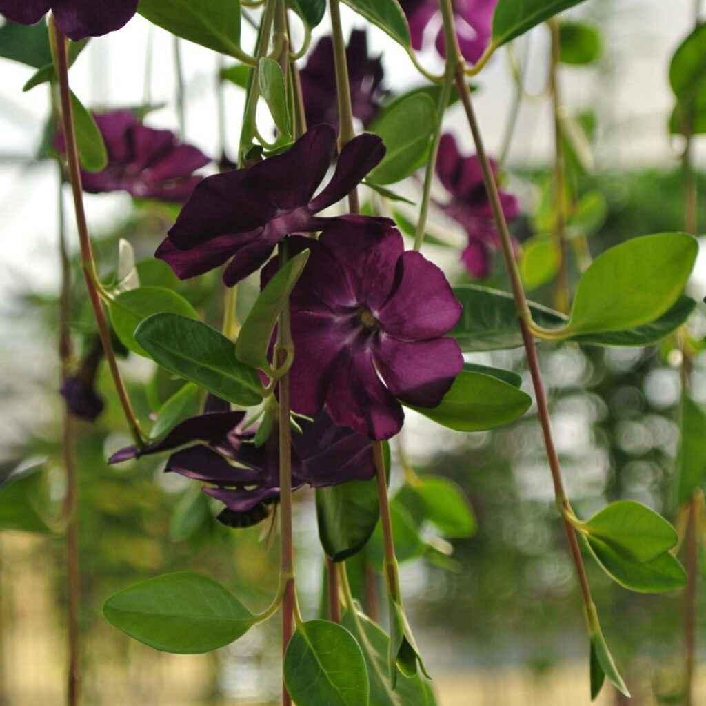 Vinca Minor - Apulia Plants