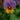 Violet – Apulia Plants