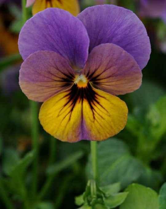 Viola - Apulia Plants