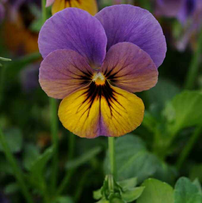 Violet - Apulia Plants