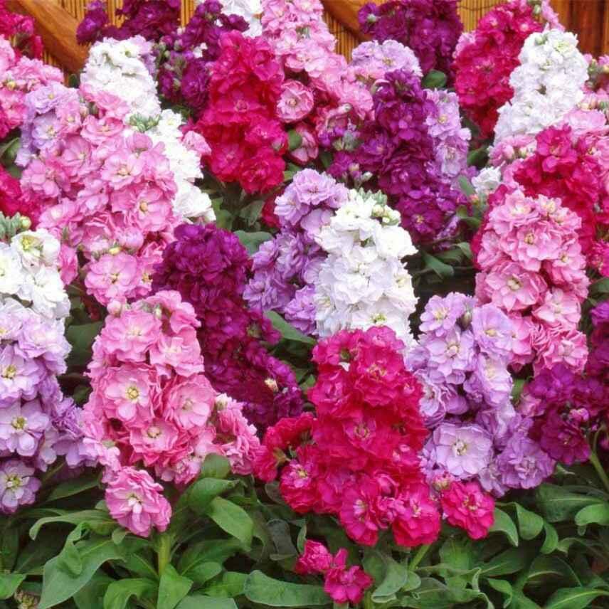 Violacciocca (Wallflower)- Apulia Plants