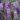 Wisteria (Glicine) – Apulia Plants