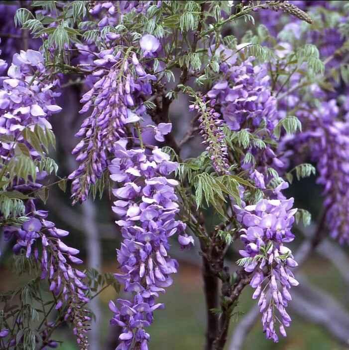 Wisteria (Glicine) - Apulia Plants