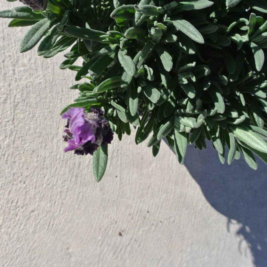 Lavandula - Apulia Plants