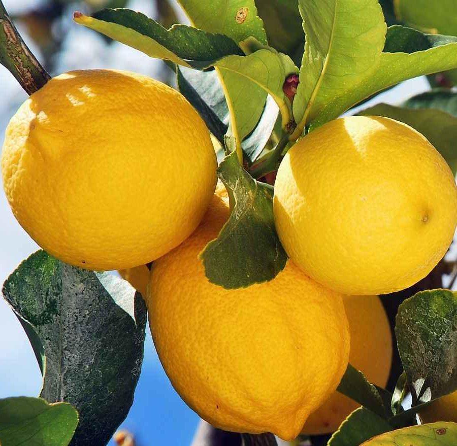 Lemon - Apulia Plants