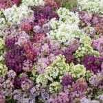Lobularia - Apulia Plants