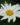 Leucanthemum – apulia plants