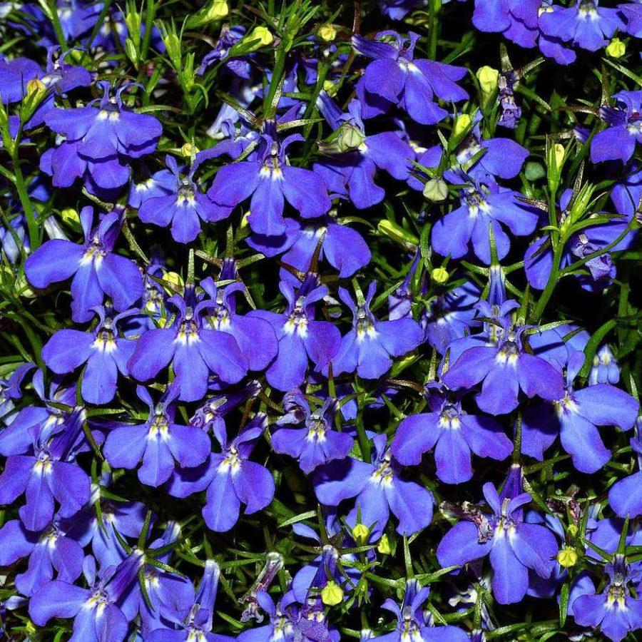 Pianta Lobelia - Apulia Plants