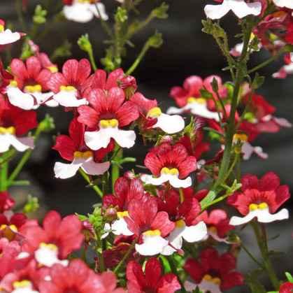 nemesia - apulia plants