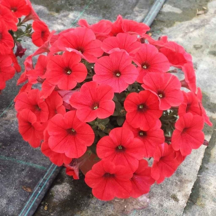 petunia - apulia plants