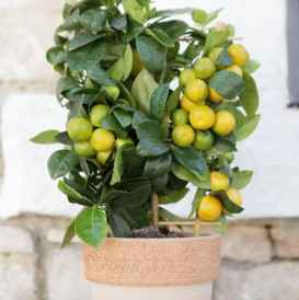 calamondino - apulia plants