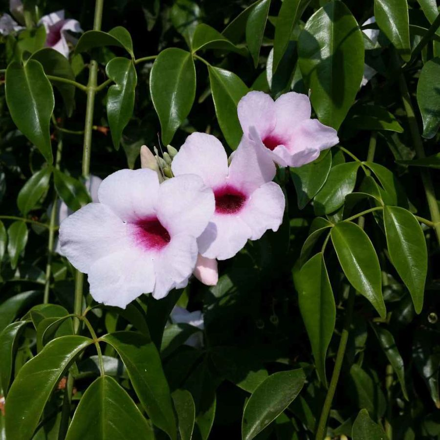 Pandorea - Apulia Plants