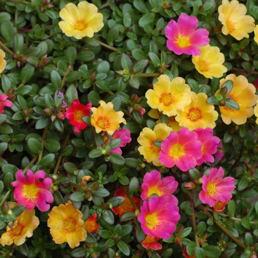 Portulaca - Apulia Plants