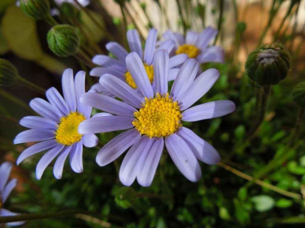 agatea - apulia plants
