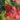 begonia – apulia plants