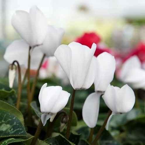 ciclamini - apulia plants