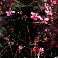 gaura - apulia plants