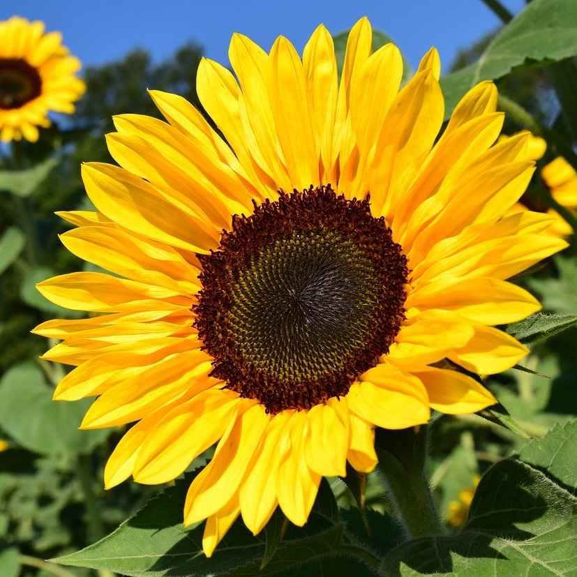 sunflower  - apulia plants