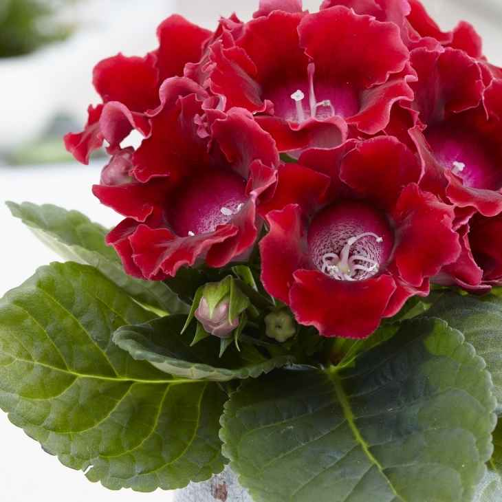 gloxinia - apulia plants