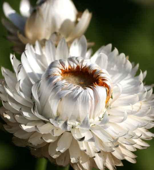helichrysum - apulia plants