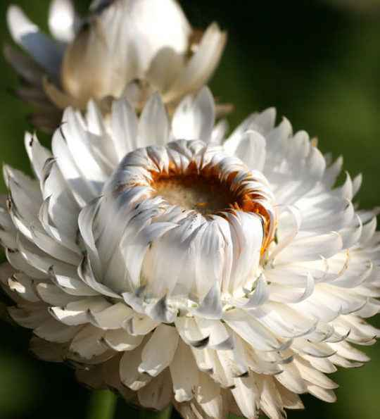 helichrysum (Paper flower)- apulia plants